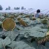 YKNU62 planting f1 hybrid sunflower seed sale