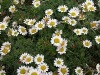 Pyrethrum Extract 100% Natural