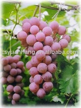100% pure natural ,Grape seed extract