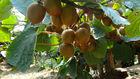 Fresh Yellow kiwi fruit Chinese kiwi fruit
