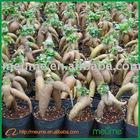 Ficus microcarpa bonsai mini indoor plant
