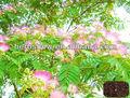del árbol de acacia semillas para el cultivo