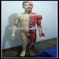 Iso 170cm deluxe integral- corpo masculino modelo músculos com um órgão interno