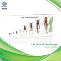 qianfan ciclo de vida de gafanhoto ensino bloco de acrílico