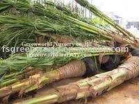 cocos nucifera coconut palm trees