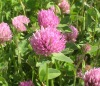 Red Clover Extract Powder 20% Isoflavone
