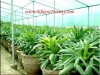 Rhapis Excelsa Palm Trees Seedlings Plants Suppliers
