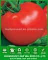 T44 hongxi f1 ibrido semi di pomodoro di qualità per effetto serra