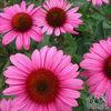 Indian Medicinal Herbs, Natural Herb Medicine, Raw Herbs Echinacea Premium quanlity herb