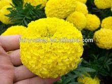 2014 Newest Hybrid F1 Yellow/Orange/Gold Bulk Marigold Seeds For Pot Flower