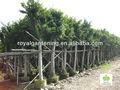 شجرة اللبخ nitida لهندسة المناظر الطبيعية الاستوائية