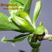 100% natural Eucommia Ulmoides Oliv p.e.