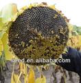 1335 chinois de plantation de graines de tournesol