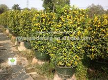 Cítricos mitis( citrofortunella microcarpa) naranja vivero de árboles