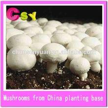 Frozen exportation bouton champignons de la chine en inde