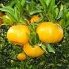 china honey Mandarin
