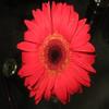 kunming flower export fresh cut gerbera
