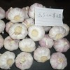 China agriculture products----garlic supplier