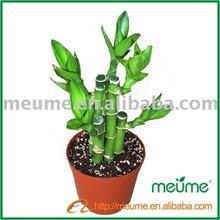 Aquatic Plants Lucky Bamboo (Indoor plants)