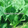 grandes hojas de espinacas semillas para el cultivo