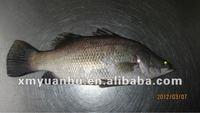 fresh frozen vietnam barramundi fish