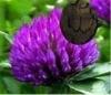red clover p e