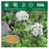 Health Plant,Chinese Angelica Extract Powder
