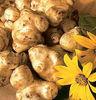 Jerusalem Artichoke Tuber / Organic Inulin / Top quality inulin artichoke/ best quality Inulin