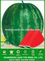 W06 quanxin büyük boy çekirdeksiz karpuz tohumu melez, karpuz Ekim için tohumlar
