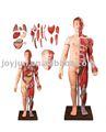 corpo humano músculos com órgãos internos