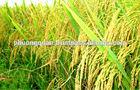 Cheapest- High Quality Vietnamese Jasmine Rice 5% broken( hieu.phuongquan@gmail.com)Manufacturer