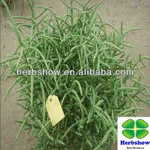Salicornia bigelovii Torr seeds for planting