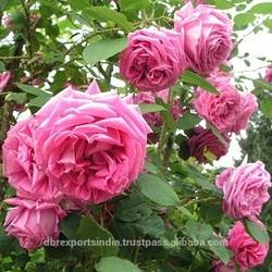 Rose Oil - 1st HD