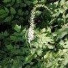 Cimicifuga racemosa Extract Powder 8%Triterpenoid Saponis