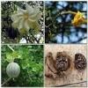 Gardenia Fruit p.e.