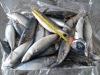 Pacific Mackerel for Bait