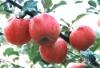 Chinese fruit fresh apple wholesale price