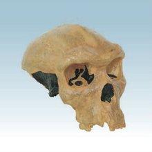 Rhooesian man skull