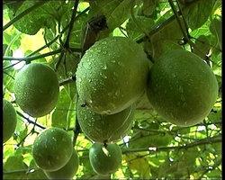 Monk Fruit Extract Mogrosides80%/MogrosideV25%