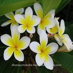 Frangipani Oil (Botanical Name: Plumeria Alba)
