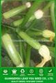 ارتفاع العائد jsq04 نك لا. زرع في 8 بذور كوسة، بذور الكوسا f1