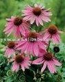 Poudre d'extrait d'Echinacea