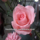 Fresh flower of pink rose flower named pink lady
