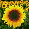 Bulk sunflower seeds/russian sunflower seeds for flower