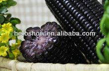 negro púrpura maíz híbrido semillas de maíz para la siembra