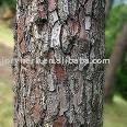 Pinus Pinaster Extract Powder