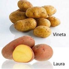 Laura, Vineta, Jelly, Satin Potatoes HARVEST 2014 (September)