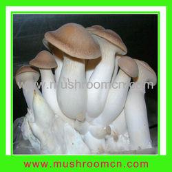King oyster eryngii mushroom spawn