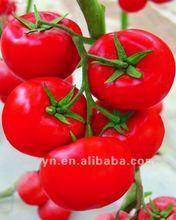ZYH-3 Heat Resistant Tomato Seeds