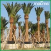 Phoenix canariensis date palm trees for sale (Date Palm)